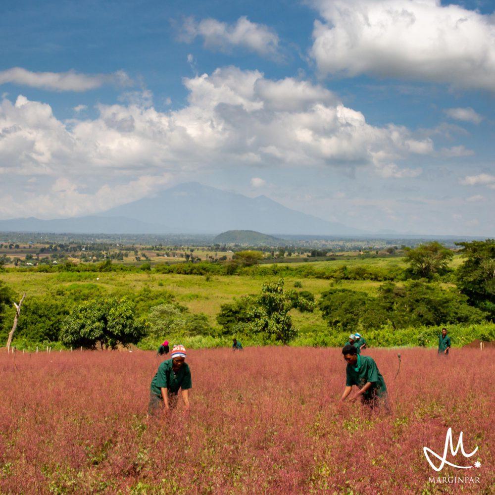 Meteen MPS-A+ kwalificatie voor Tanzaniaanse kwekerijen Bondeni Flowers en Michiru